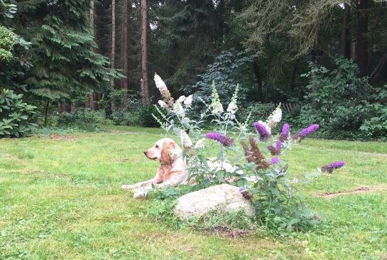 Unser Hund im Garten beim Schmetterlingsflieder