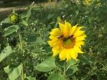 Wildbienen auf einer Sonnenblume.