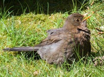 https://pixabay.com/de/tier-vogel-amsel-jungvogel-junges-113293/