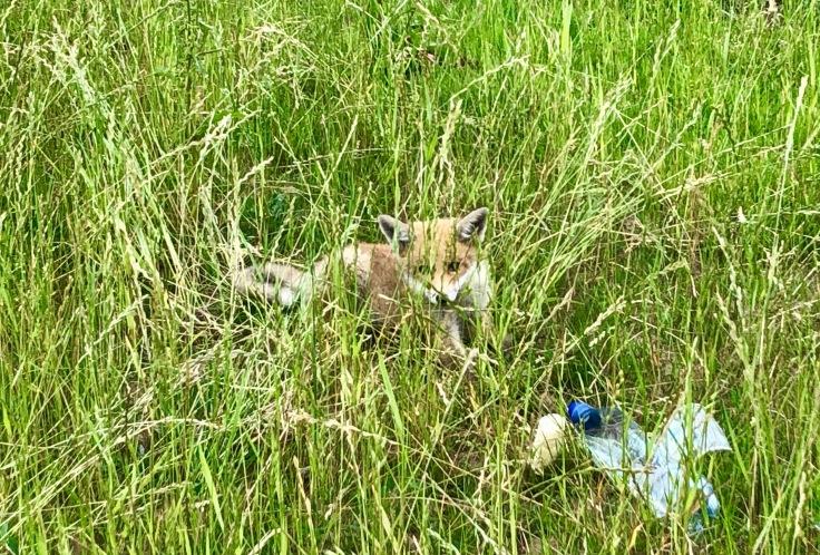 Foxi, der kleine Fuchswelpe