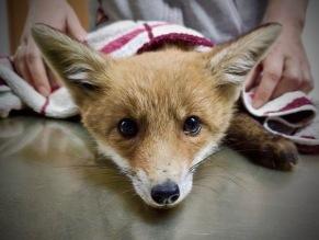 Foxi der kleine Fuchs-Welpe beim Tierarzt